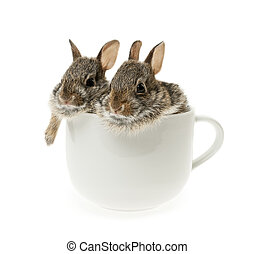 Two baby cottontail bunny rabbits in cup - Two baby wild...