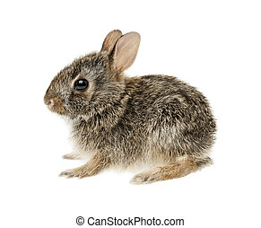 Baby cottontail bunny rabbit - Portrait of baby cottontail...
