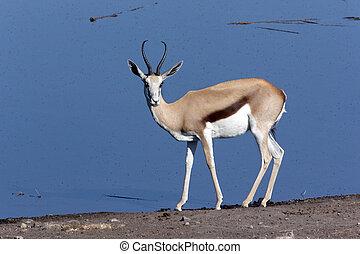 Springbok - Namibia - A Springbok (Antidorcas marsupialis)...