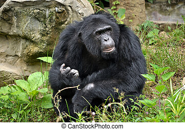 Chimpanzees, sometimes colloquially chimp, are two extant...