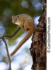 African Tree Squirrel (Paraxerus cepapi) in the Okavango...