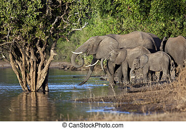 African Elephants - Botswana - Group of African Elephants...