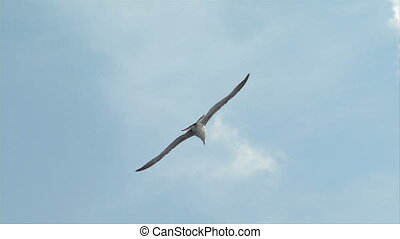 seagull fly 01