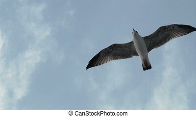 seagull fly 03 - Seagull flies in the sky