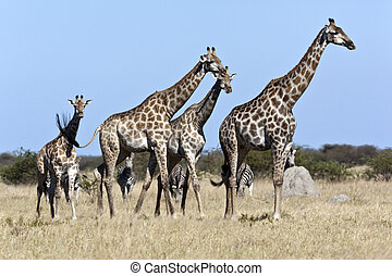 Giraffe and Zebra - A group of Giraffe Giraffa...