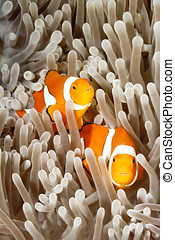 Two Clownfish - A pair of clown anemonefish, Amphiprion...