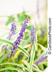 Lavander flowers - Bright flowers of Lavander plant in the...