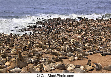 Cape Fur Seal Colony - Namibia - Cape Fur Seals...