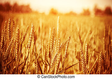 Golden wheat field - Golden ripe wheat field, sunny day,...