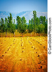 Many haycocks on golden dry field, season of crop reaping,...