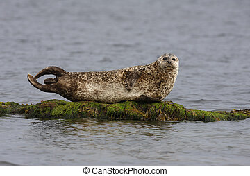 Common seal, Phoca vitulina, Scotland