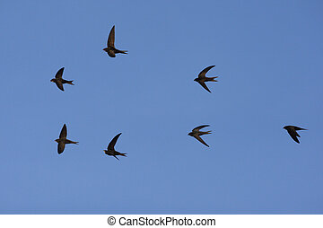 Swift, Apus apus, group in flight, Spain