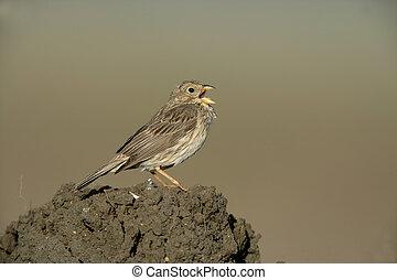 Corn bunting, Emberiza calandra, single bird singing, Spain,...