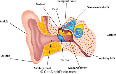 Human ear anatomy - vector illustration of Human ear anatomy
