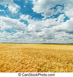 field with ripe wheat under cloudy sky