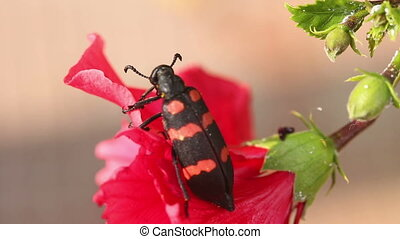 Beetle - Big black and red beetle on the red flower. Macro