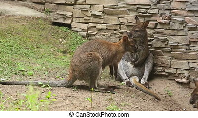Kangaroos - Kangaroo family at the Zoo