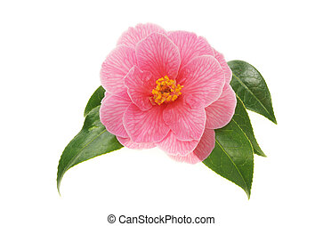 Camellia - Fresh camellia flower and waxy green leaves