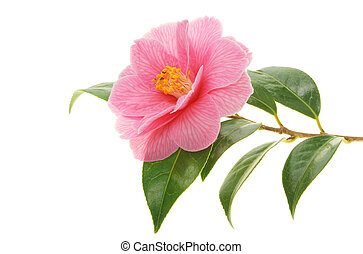 Camellia and branch - Camellia flower and branch isolated on...