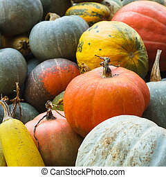 Pumpkin harvesting on the field, different types of pumpkin