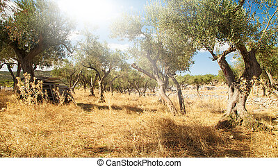 olive tree orchard - Mediterranean olive field with old...