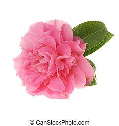 Pink camellia - Pink multi petaled camellia flower isolated...