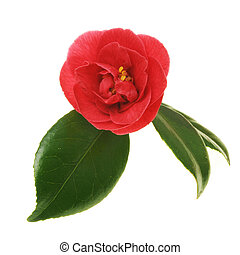Red camellia flower with green leaves