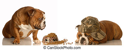 animal behaviour - english bulldog looking on as another dog...