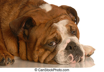 dog depression - red brindle english bulldog with pouting...