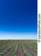 campo, recentemente, piantato, carciofo