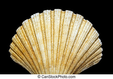 bivalve shell isolated on black background