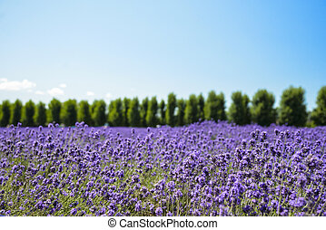 Lavender flower field with blue sky1