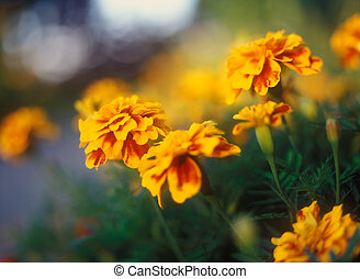 Tagetes. - Tagetes in the warm light of sunset.