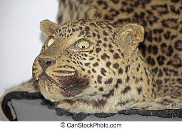 Leopard panther, panthera pardalis in a Museum, Miao,...