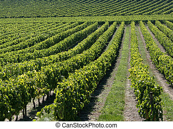 Vineyard in Bordeaux, France - Graphic image of a vineyard...