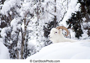 Alaska Native Animal Wildlife Dall Sheep Resting Laying -...