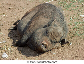 Wild Pig lying in mud - This is a lazy pig lying in the sun