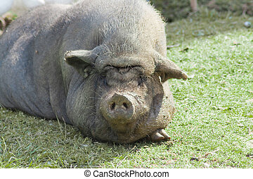 Wild pig - This is a wild pig lying in the sun