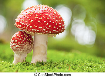 Amanita muscaria - Macro photo of amanita muscaria in forest