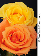Yellow And Peach Rose - Yellow and peach rose pair isolated...