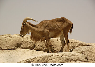 Aoudad (Ammotragus lervia) - Found in the Atlas mountains of...