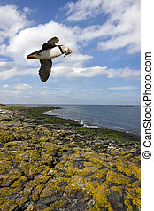 Puffin - Farne Islands - England - A Puffin (Fratercula...