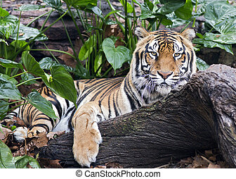 sleepy tiger - a tiger relaxing in the jungle