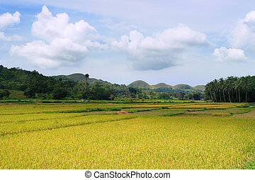 Asian Rice Field - Asian tropical rice field in a panoramic...