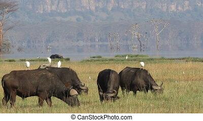 Grazing African buffalos - African buffalos Syncerus caffer...