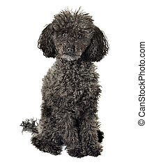 black poodle isolated on a white background