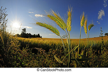 wheat weed - closeup of wheatplant in front of beautiful...