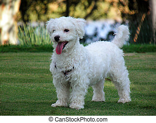Bichon maltese posing on the grass with tongue out