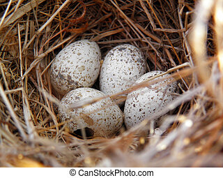 Bird nest with eggs found in nature