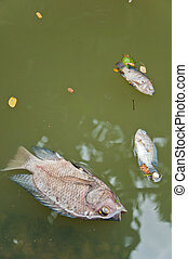 A fish dies in the  dirty water with her baby